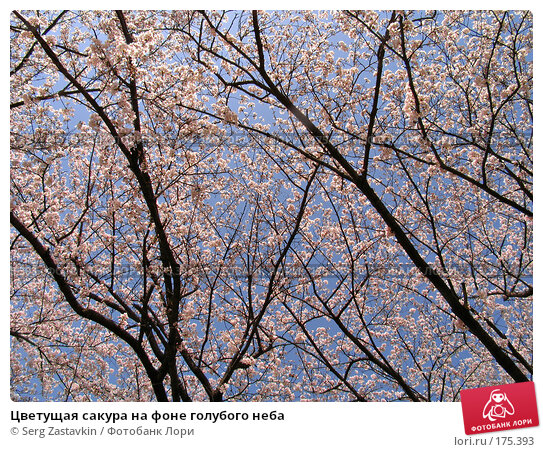Цветущая сакура на фоне голубого неба, фото № 175393, снято 3 апреля 2007 г. (c) Serg Zastavkin / Фотобанк Лори