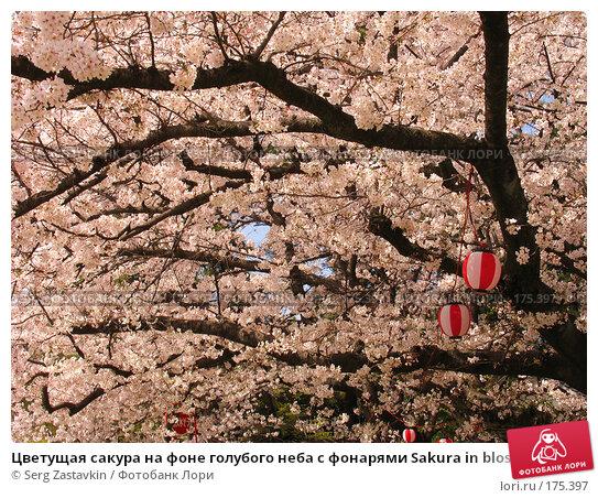 Цветущая сакура на фоне голубого неба с фонарями Sakura in blossom with lanterns, фото № 175397, снято 3 апреля 2007 г. (c) Serg Zastavkin / Фотобанк Лори