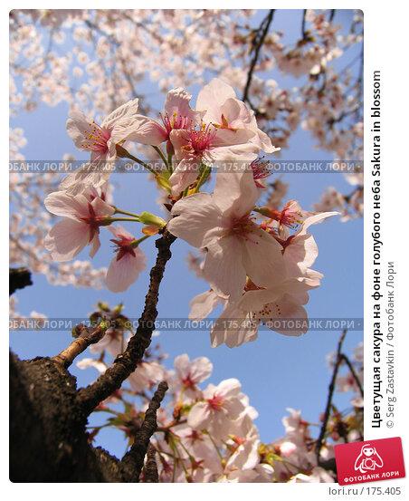Цветущая сакура на фоне голубого неба Sakura in blossom, фото № 175405, снято 3 апреля 2007 г. (c) Serg Zastavkin / Фотобанк Лори