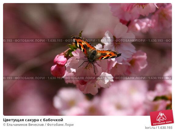Цветущая сакура с бабочкой. Стоковое фото, фотограф Ельчанинов Вячеслав / Фотобанк Лори