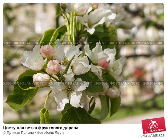 Цветущая ветка фруктового дерева, фото № 265805, снято 26 апреля 2008 г. (c) Примак Полина / Фотобанк Лори