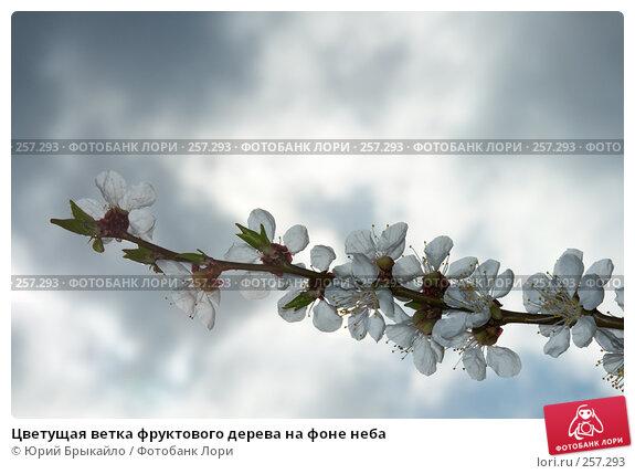 Купить «Цветущая ветка фруктового дерева на фоне неба», фото № 257293, снято 12 апреля 2008 г. (c) Юрий Брыкайло / Фотобанк Лори