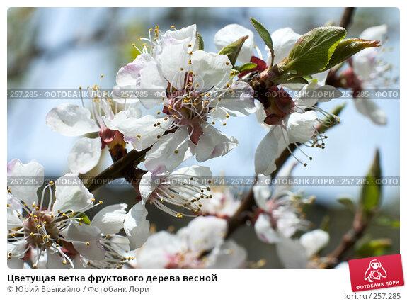 Цветущая ветка фруктового дерева весной, фото № 257285, снято 12 апреля 2008 г. (c) Юрий Брыкайло / Фотобанк Лори