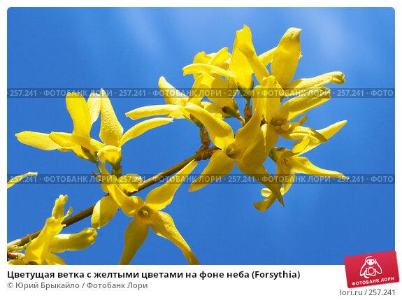 Цветущая ветка с желтыми цветами на фоне неба (Forsythia), фото № 257241, снято 11 апреля 2008 г. (c) Юрий Брыкайло / Фотобанк Лори