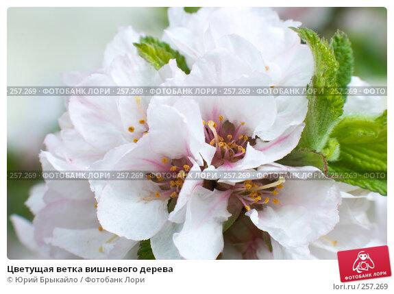 Цветущая ветка вишневого дерева, фото № 257269, снято 12 апреля 2008 г. (c) Юрий Брыкайло / Фотобанк Лори