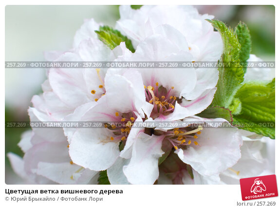 Купить «Цветущая ветка вишневого дерева», фото № 257269, снято 12 апреля 2008 г. (c) Юрий Брыкайло / Фотобанк Лори