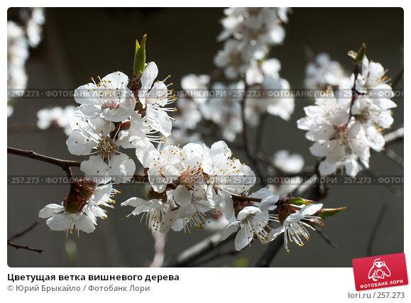 Купить «Цветущая ветка вишневого дерева», фото № 257273, снято 12 апреля 2008 г. (c) Юрий Брыкайло / Фотобанк Лори