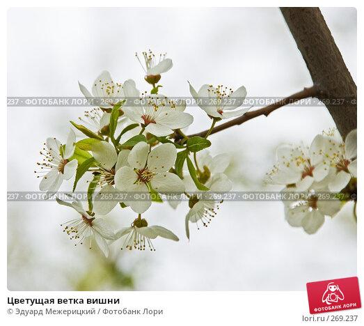 Цветущая ветка вишни, фото № 269237, снято 30 апреля 2008 г. (c) Эдуард Межерицкий / Фотобанк Лори
