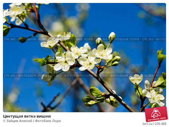 Цветущая ветка вишни, фото № 270365, снято 3 мая 2008 г. (c) Зайцев Алексей / Фотобанк Лори