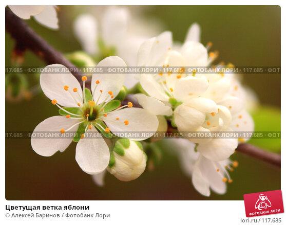 Цветущая ветка яблони, фото № 117685, снято 19 мая 2007 г. (c) Алексей Баринов / Фотобанк Лори