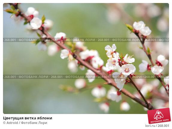 Цветущая ветка яблони, фото № 268001, снято 29 апреля 2008 г. (c) Astroid / Фотобанк Лори