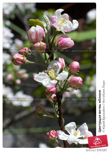 Купить «Цветущая ветвь яблони», фото № 319597, снято 30 апреля 2008 г. (c) Юрий Брыкайло / Фотобанк Лори
