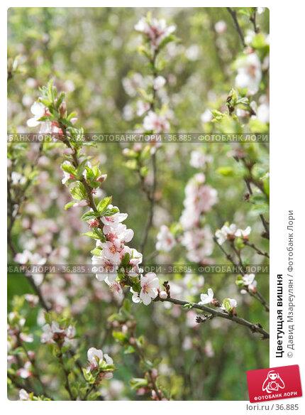 Цветущая вишня, эксклюзивное фото № 36885, снято 29 апреля 2007 г. (c) Давид Мзареулян / Фотобанк Лори