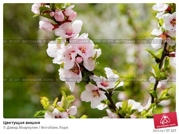 Купить «Цветущая вишня», эксклюзивное фото № 37321, снято 29 апреля 2007 г. (c) Давид Мзареулян / Фотобанк Лори