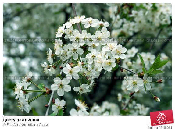 Купить «Цветущая вишня», фото № 218061, снято 24 апреля 2018 г. (c) ElenArt / Фотобанк Лори