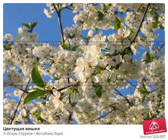 Цветущая вишня, фото № 223037, снято 27 апреля 2005 г. (c) Игорь Струков / Фотобанк Лори