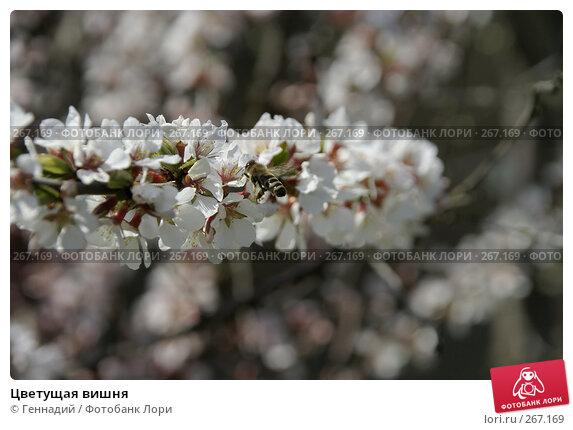 Купить «Цветущая вишня», фото № 267169, снято 27 апреля 2008 г. (c) Геннадий / Фотобанк Лори