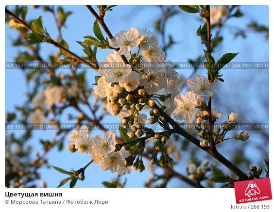 Цветущая вишня, фото № 268193, снято 26 апреля 2008 г. (c) Морозова Татьяна / Фотобанк Лори