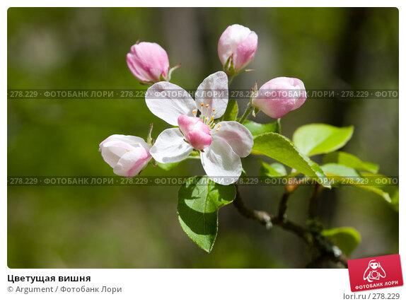 Купить «Цветущая вишня», фото № 278229, снято 28 апреля 2008 г. (c) Argument / Фотобанк Лори