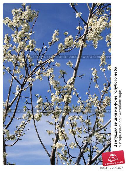 Купить «Цветущая вишня на фоне голубого неба», фото № 290873, снято 29 апреля 2008 г. (c) Игорь Романов / Фотобанк Лори