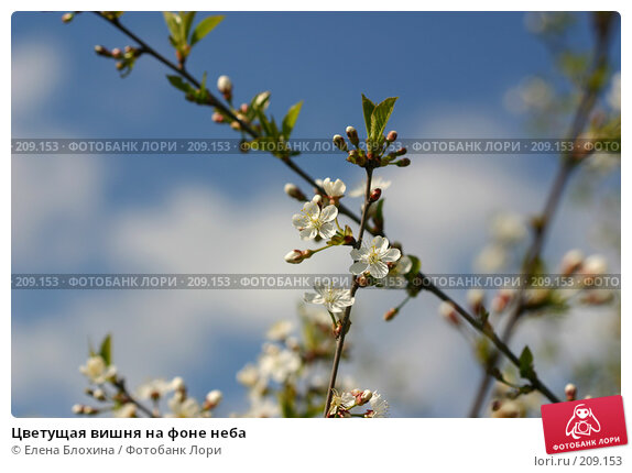Купить «Цветущая вишня на фоне неба», фото № 209153, снято 14 мая 2007 г. (c) Елена Блохина / Фотобанк Лори
