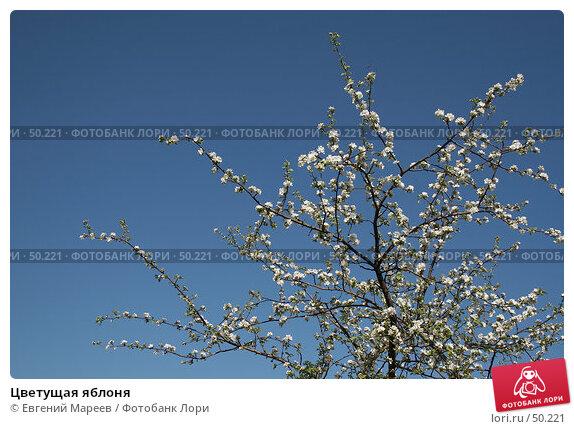 Купить «Цветущая яблоня», фото № 50221, снято 21 мая 2007 г. (c) Евгений Мареев / Фотобанк Лори