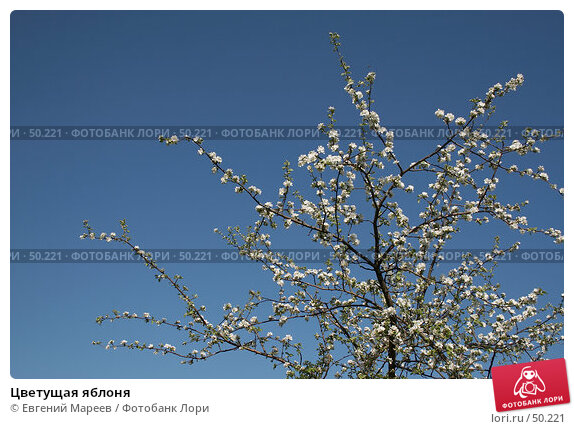 Цветущая яблоня, фото № 50221, снято 21 мая 2007 г. (c) Евгений Мареев / Фотобанк Лори