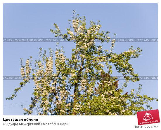 Цветущая яблоня, фото № 277745, снято 3 мая 2008 г. (c) Эдуард Межерицкий / Фотобанк Лори