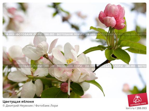 Цветущая яблоня, эксклюзивное фото № 288093, снято 22 апреля 2008 г. (c) Дмитрий Нейман / Фотобанк Лори