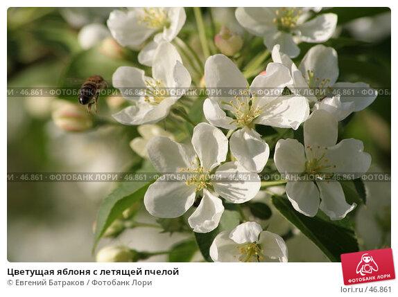 Цветущая яблоня с летящей пчелой, фото № 46861, снято 18 мая 2007 г. (c) Евгений Батраков / Фотобанк Лори