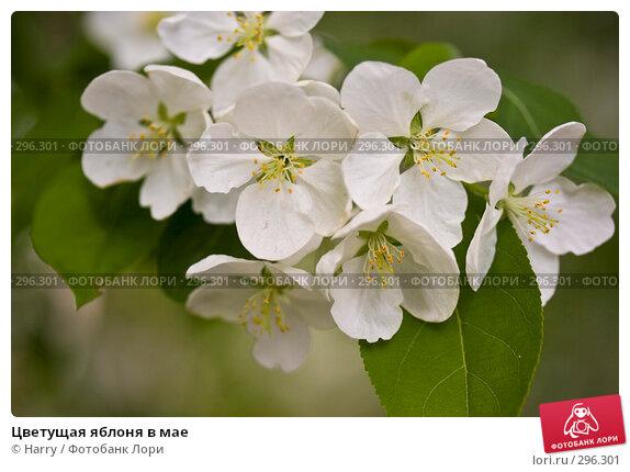 Цветущая яблоня в мае, фото № 296301, снято 20 мая 2008 г. (c) Harry / Фотобанк Лори