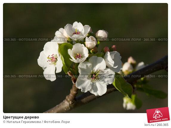 Купить «Цветущее дерево», фото № 260365, снято 23 апреля 2008 г. (c) Наталья Герасимова / Фотобанк Лори