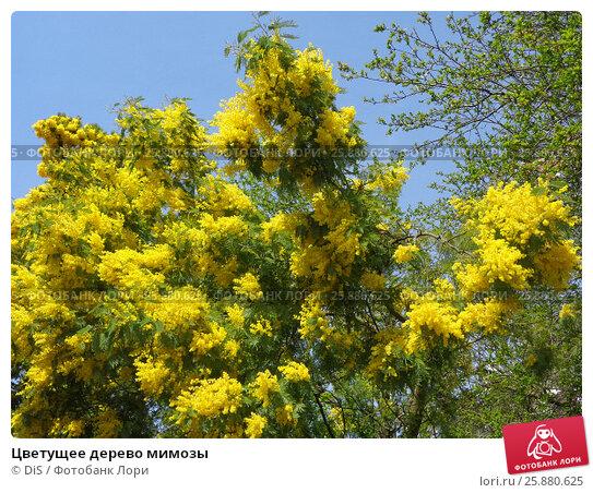 Купить «Цветущее дерево мимозы», фото № 25880625, снято 17 марта 2017 г. (c) DiS / Фотобанк Лори