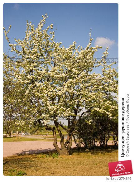 Цветущее грушевое дерево, фото № 279649, снято 10 мая 2008 г. (c) Сергей Васильев / Фотобанк Лори