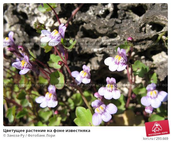 Цветущее растение на фоне известняка, фото № 293669, снято 17 мая 2008 г. (c) Заноза-Ру / Фотобанк Лори