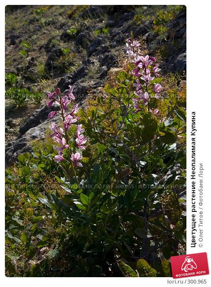 Цветущее растение Неопалимая Купина, фото № 300965, снято 21 мая 2008 г. (c) Олег Титов / Фотобанк Лори