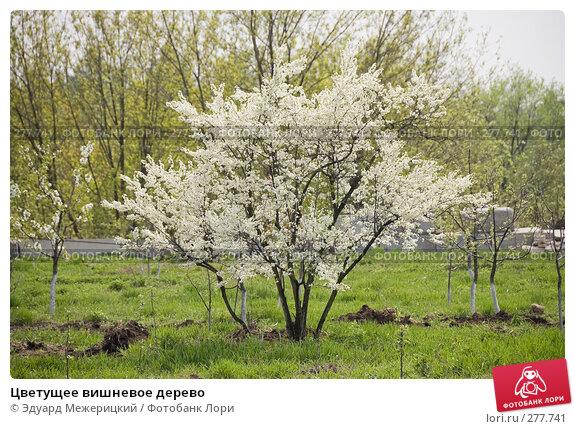 Цветущее вишневое дерево, фото № 277741, снято 2 мая 2008 г. (c) Эдуард Межерицкий / Фотобанк Лори