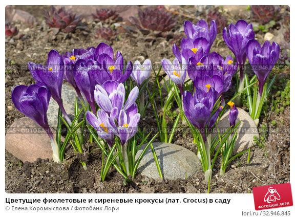 Цветущие фиолетовые и сиреневые крокусы (лат. Crocus) в саду. Стоковое фото, фотограф Елена Коромыслова / Фотобанк Лори