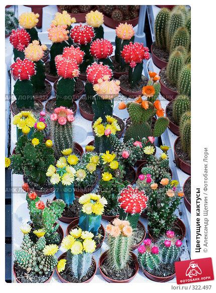 Купить «Цветущие кактусы», эксклюзивное фото № 322497, снято 8 июня 2008 г. (c) Александр Щепин / Фотобанк Лори