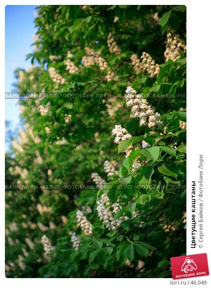 Цветущие каштаны, фото № 46049, снято 24 мая 2007 г. (c) Сергей Байков / Фотобанк Лори