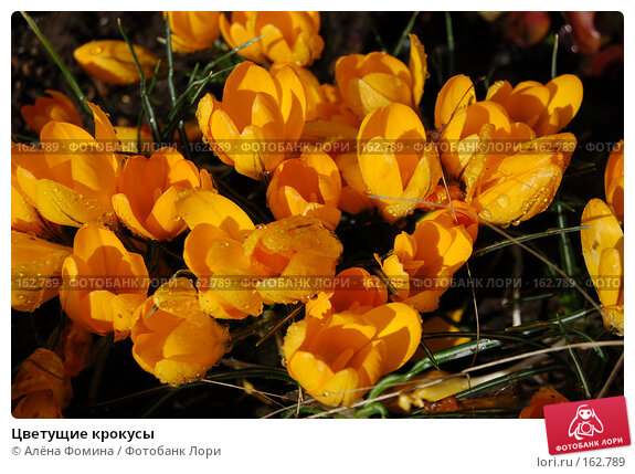 Цветущие крокусы, фото № 162789, снято 2 апреля 2006 г. (c) Алёна Фомина / Фотобанк Лори