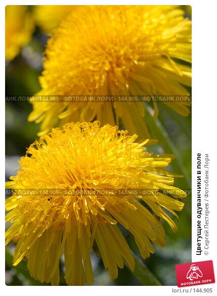 Купить «Цветущие одуванчики в поле», фото № 144905, снято 20 мая 2007 г. (c) Сергей Пестерев / Фотобанк Лори