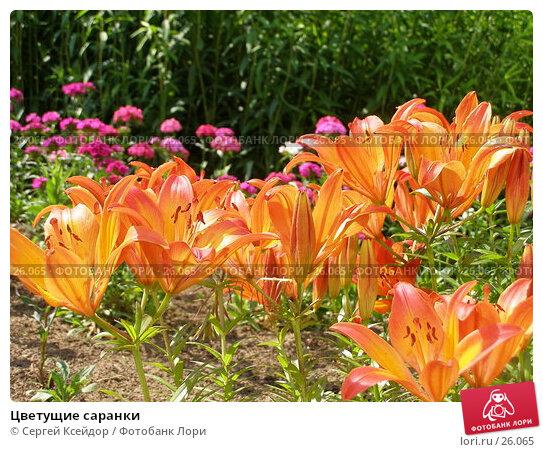 Цветущие саранки, фото № 26065, снято 23 июня 2006 г. (c) Сергей Ксейдор / Фотобанк Лори