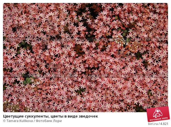 Цветущие суккуленты, цветы в виде зведочек, фото № 4821, снято 19 июня 2006 г. (c) Tamara Kulikova / Фотобанк Лори