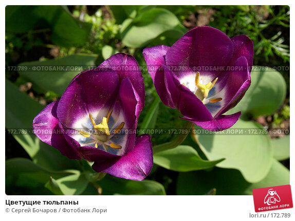 Цветущие тюльпаны, фото № 172789, снято 19 мая 2007 г. (c) Сергей Бочаров / Фотобанк Лори