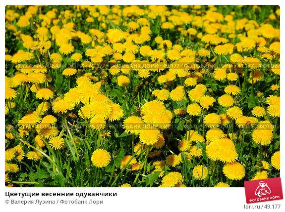Цветущие весенние одуванчики, фото № 49177, снято 31 мая 2007 г. (c) Валерия Потапова / Фотобанк Лори