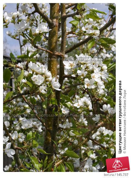 Цветущие ветви грушевого дерева, фото № 145737, снято 5 мая 2007 г. (c) Михаил Николаев / Фотобанк Лори