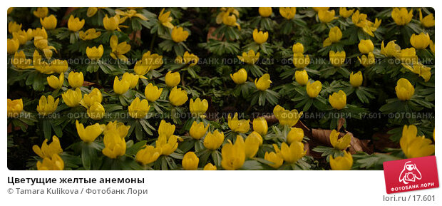 Цветущие желтые анемоны, фото № 17601, снято 15 февраля 2007 г. (c) Tamara Kulikova / Фотобанк Лори