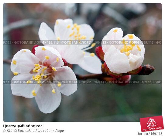 Цветущий абрикос, фото № 169113, снято 8 апреля 2007 г. (c) Юрий Брыкайло / Фотобанк Лори