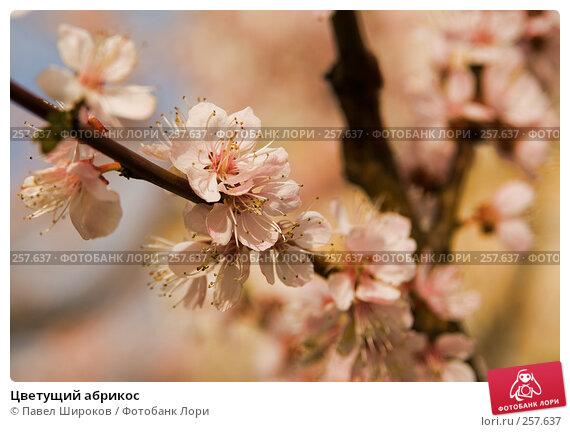 Цветущий абрикос, эксклюзивное фото № 257637, снято 19 апреля 2008 г. (c) Павел Широков / Фотобанк Лори